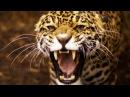 В поисках людоеда Леопарды - убийцы \ Nat Geo WILD HD