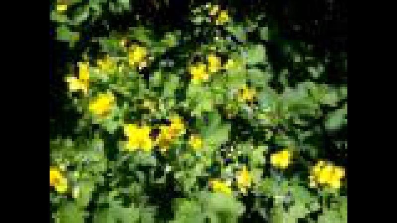 Чистотел олиготипный род двудольных растений семейства Маковые