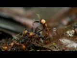 Самая маштабная охота на земле. Кочевой муравей /ВВС. Охота/The Hunt/ 2015