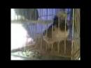 лютая птичка орет - застряла в клетке