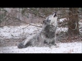 Beautiful Black Wolf Zephyr Howls in the Snow