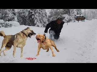 KANGAL mı PİTBULL mu ( sizce hangisi ) ''kangal vs pitbull'' power pitbull vs kangal ''dog attack''