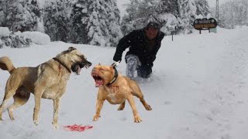 KANGAL mı PİTBULL mu sizce hangisi kangal vs pitbull power pitbull vs kangal dog attack