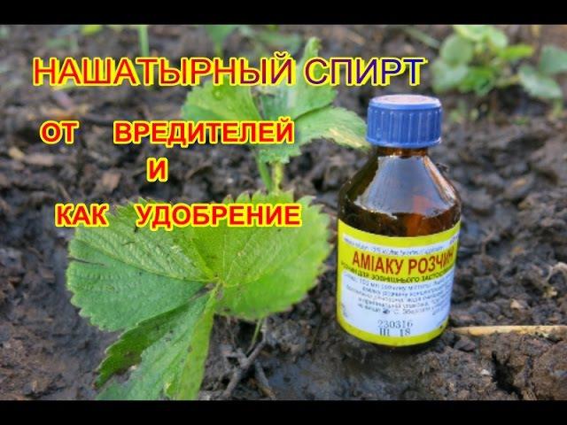 НАШАТЫРНЫЙ СПИР как УДОБРЕНИЕ и от ВРЕДИТЕЛЕЙ КЛУБНИКИ Ammonium alcohol as a fertilizer