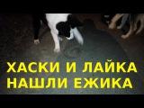 Dog Husky and Laika found the Hedgehog  Хаски и Лайка нашли ЕЖИКА