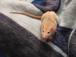 Чем Опасна Крыса и как с Ней Бороться?