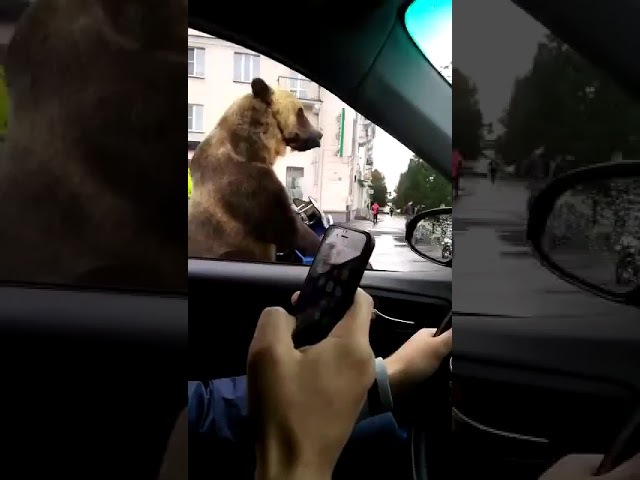 Bear in Russian traffic: This can only happen in Russia! LOL