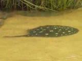 Raia (Potamotrygon sp.) no rio Xingu, Pará, Brasil