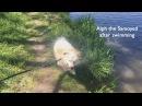 Slow Motion Alph the Samoyed after swimming Слоу Мо Самоед Альф после плавания