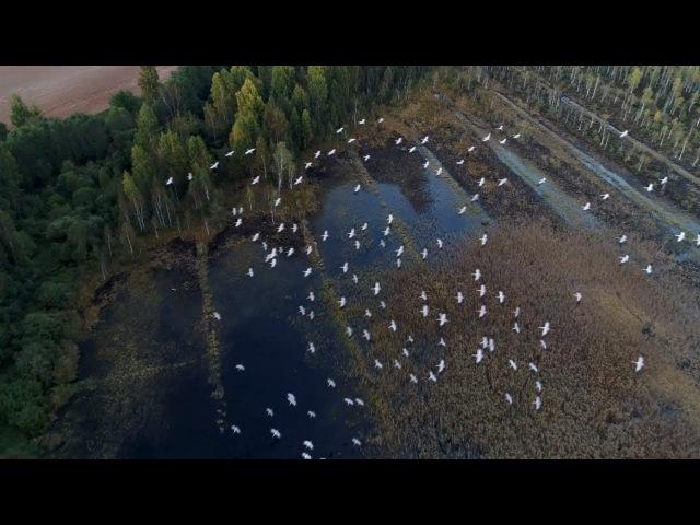 Круцянскае відэа з дрону як прыгожа лятуць журавы   Природа в Беларуси   Nature in Belarus