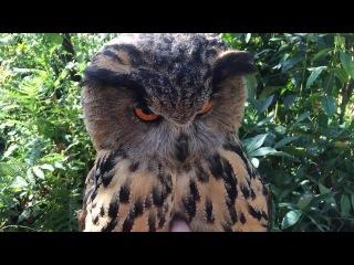 Tralala owl