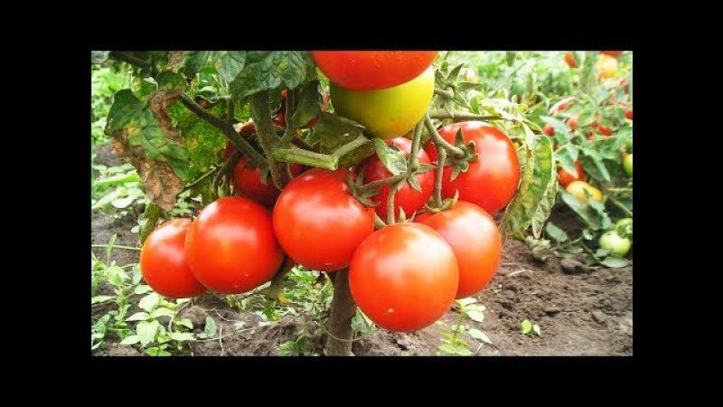 Уникальный способ полива и подкормки томатов. Сода, марганцовка, йод- всегда под рукой!