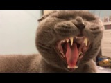 Gorgeous cat yawns