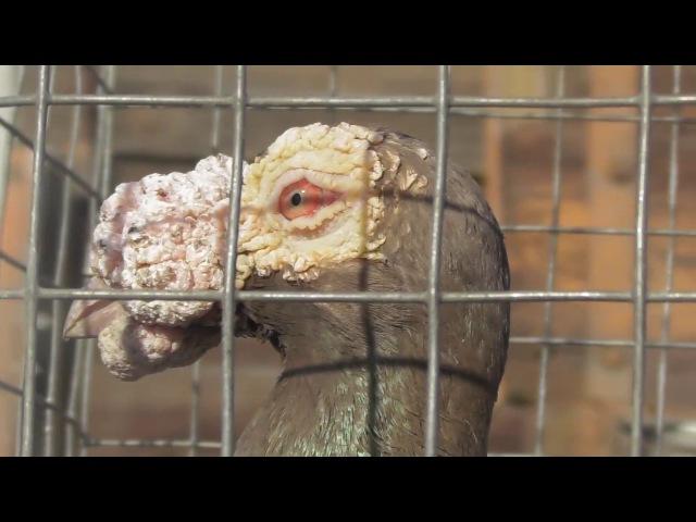 Выставка голубей г.Кировоград (05.03.17)