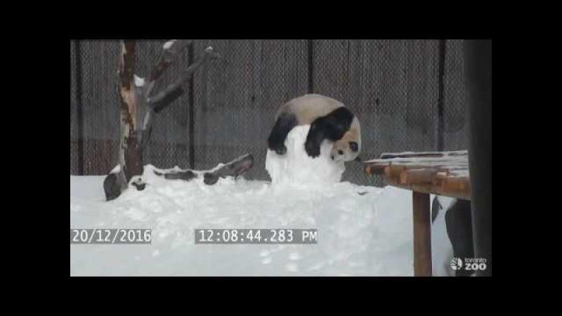 Панда и снеговик | Toronto Zoo Giant Panda vs Snowman