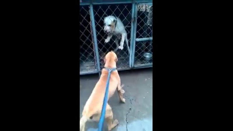 Dogo canario VS bully kutta