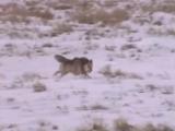 Владимир Лисицын-Стая белых волков
