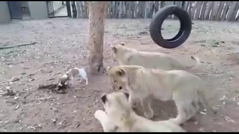 Смелый и наглый пес :)