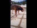 Тоса Ину vs Аргентинский Дог 18 собачьи бои