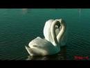 Юрий Прибылов Лебединый рай