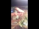 Калот кровосос (Calotes versicolor)- кивает