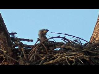 SWFL Eagles_3 Week Old E9 Ready To Party~Juvie Arrives Uninvited~Dad Kisses Mom 01-21-17