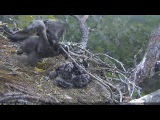 2017/01/22 7h41m a eaglet makes wing exercises