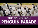 What is the Penguin Parade in Edinburgh Travel Facts about Scotland