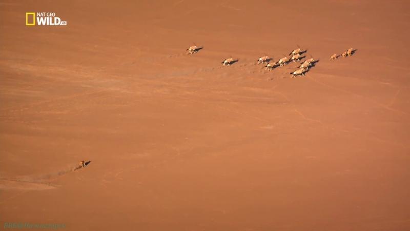 «Короли на грани исчезновения: Львы пустыни Намиб» (Документальный, природа, животные, 2015)