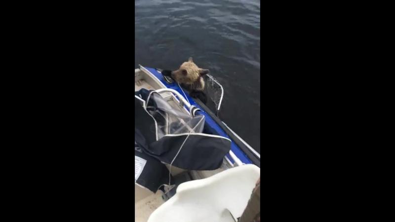 Спасение тонущего медвежонка Карелия 2017