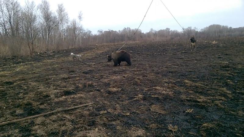 Притравка на медведя.