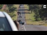 Слон стал причиной пробки на дороге в Южной Африке