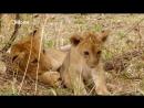 «В поисках людоеда 1. Нападения львов» Познавательный, природа, животные, 2011