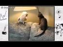 Попугай ругается с котом смотреть всем!