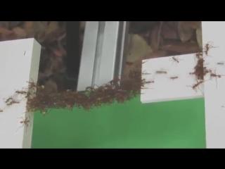 Организованные муравьи