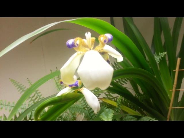 Цветение Неомарики. Neomarica northiana (Apostle plant)
