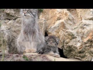 Манул / Pallas cat and kitten
