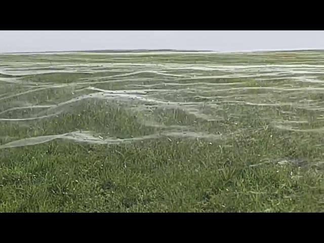 Красивый кошмар арахнофоба: паутина развевается на поле в Новой Зеландии