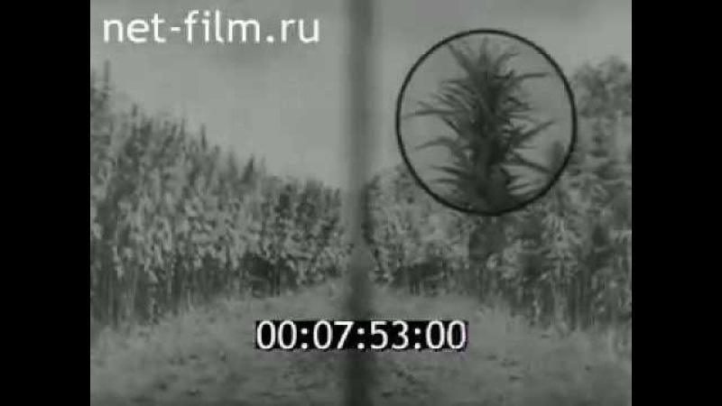 Конопля Документальный советский фильм