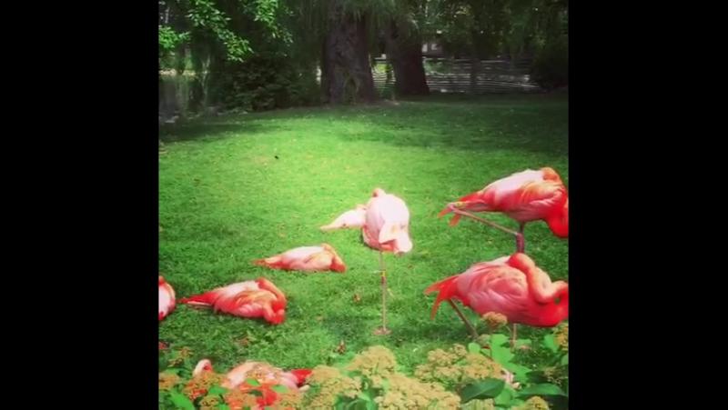 Фламинго в нашем зоопарке))