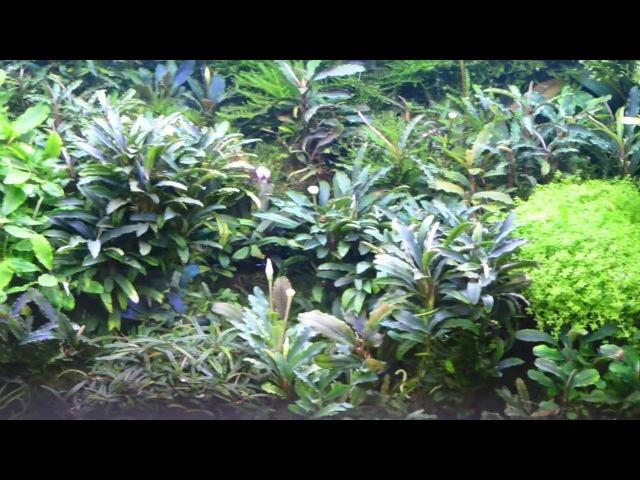 Аквариум с буцефаландрами 65 л Эндемики о Борнео butsefalandra tank 65L endemics