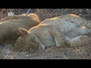 Рожденные в неволе. Жизнь африканских львов. Серия 3.