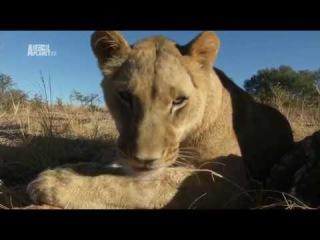 Рожденные в неволе. Жизнь африканских львов. Серия 1.