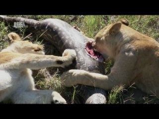 Рожденные в неволе. Жизнь африканских львов. Серия 2.