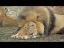 Рожденные в неволе. Жизнь африканских львов. Серия 4.