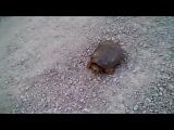 Черепаха Убийца Жесть - Snapping Turtle Attacks! (амфибия нападает на камеру человека - это просто нереальная тема)