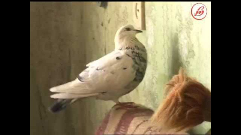 Лучани опинилися в епіцентрі екологічного лиха через... голубів