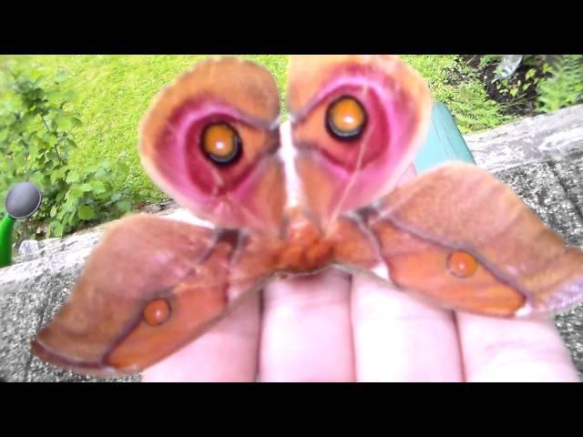 Moth breeding in captivity (MY HOBBY: Giant moths!)