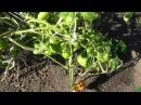 Выращивание помидоров по пять штук в лунке, подведение итогов.
