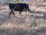 agarre de alanos a vaca.AVI